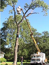 Bucket truck enables us to reach tops of trees with ease.